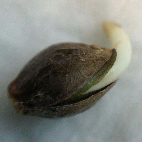 dieseltonic seedling