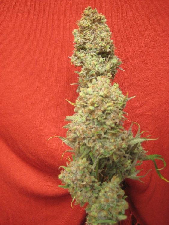 Critical Haze cannabis seeds